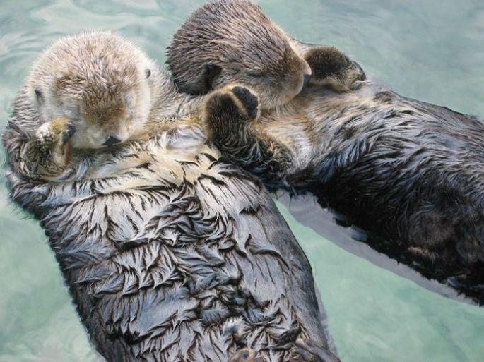 Sea_otters_holding_hands.jpg.696x0_q80_crop-smart