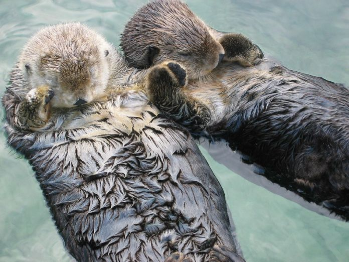 Sea_otters_holding_hands.jpg.696x0_q80_crop-smart